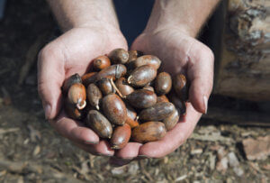 Hands with germinated acorns, ready to plant