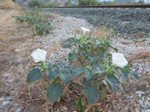white Datura flower on a background of foliage in Alora Countryside Andalucia