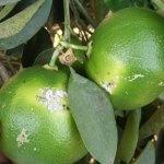 כנימה קמחית בפירות הדר