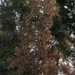 פטריית הסארדיום בברוש