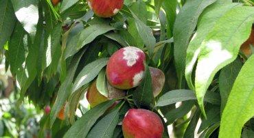 מחלת הקמחון על פירות נקטרינה