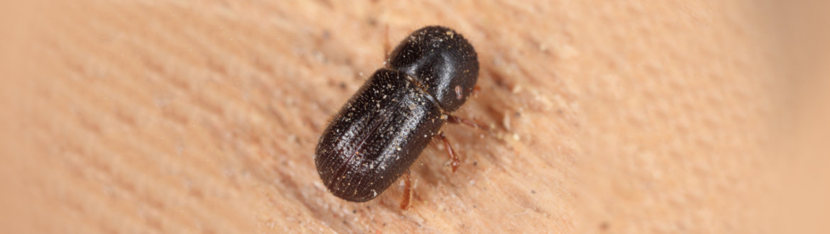 Xyleborus dispar (pear blight beetle) - ambrosia beetle